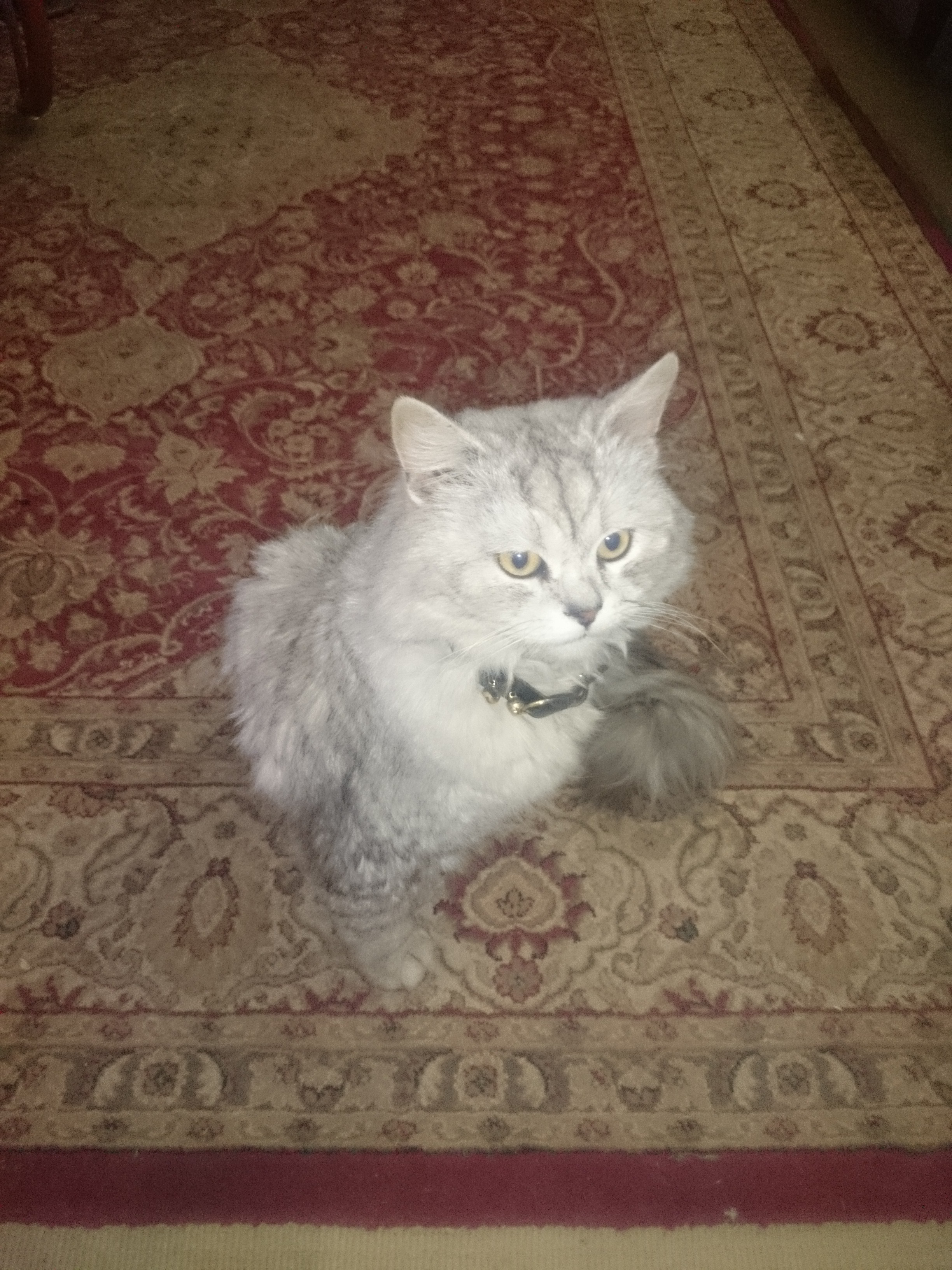 Persian Cat for Sale in Rawalpindi Islamabad